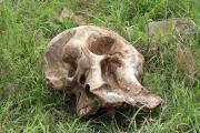 Elefanten-Schädel